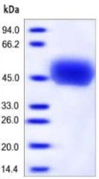 SDS-PAGE - Recombinant human CD14 protein (ab167706)