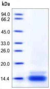 SDS-PAGE - Recombinant mouse C10 protein (ab167708)