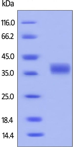 SDS-PAGE - Recombinant human PD-L1 protein (ab167713)