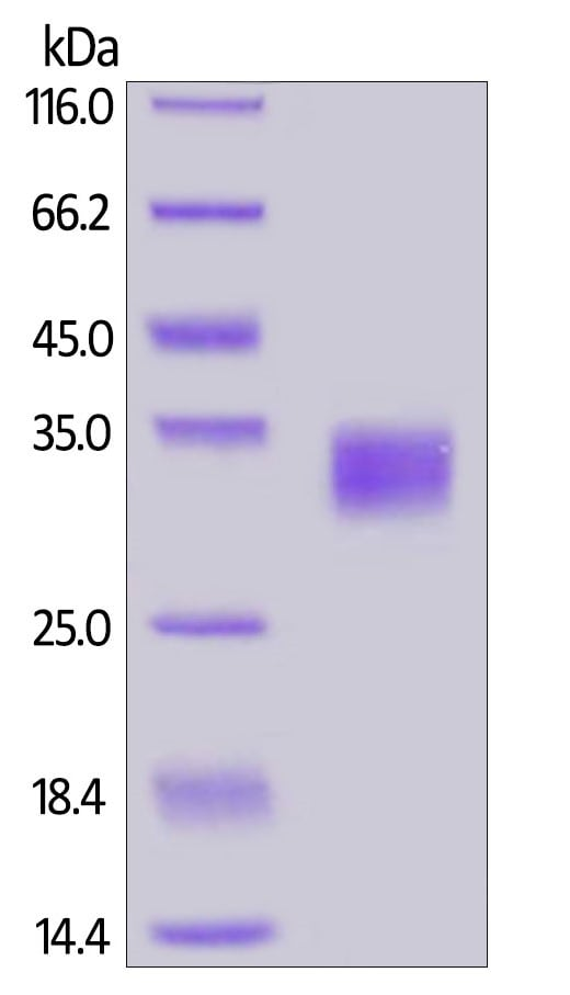 SDS-PAGE - Recombinant human PD-L1 protein (Active) (ab167713)