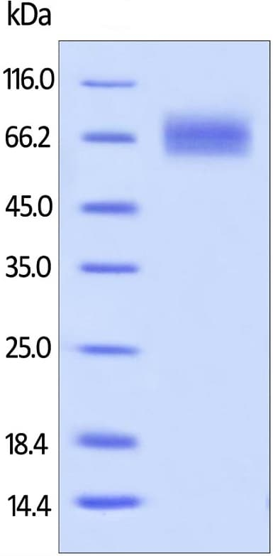 SDS-PAGE - Recombinant human CD19 protein (Active) (Biotin) (ab167717)