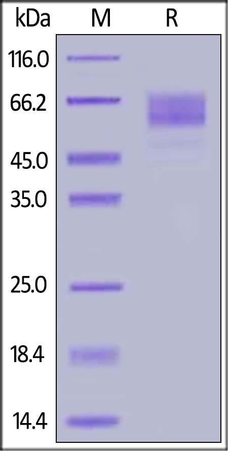 SDS-PAGE - Recombinant human SynCAM/CADM1 protein (ab167740)