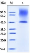 SDS-PAGE - Recombinant human Decorin protein (ab167743)