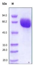 SDS-PAGE - Recombinant human Eph receptor B4/HTK protein (ab167746)