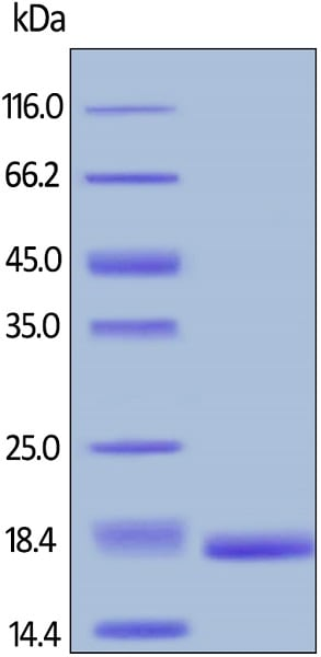 SDS-PAGE - Recombinant human TNF alpha (biotinylated ) protein (Biotin) (ab167747)