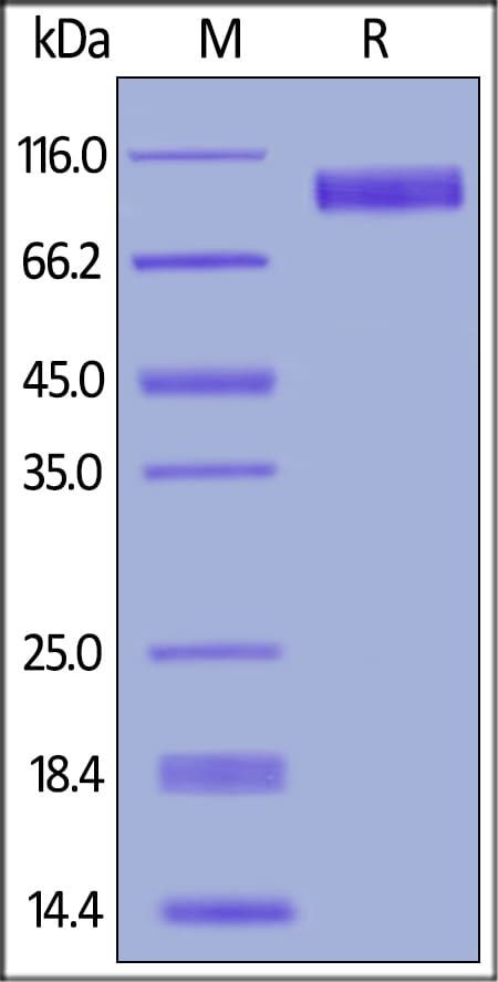 SDS-PAGE - Recombinant mouse EGFR protein (ab167752)