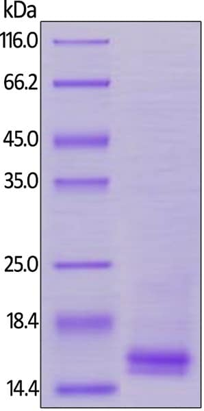 SDS-PAGE - Recombinant human CD3 epsilon protein (ab167755)