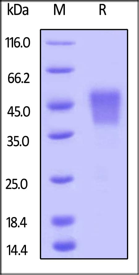 SDS-PAGE - Recombinant human CD16 protein (ab167758)