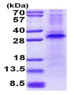SDS-PAGE - Recombinant Human Pirh2 protein (denatured) (ab167827)