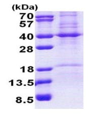SDS-PAGE - Recombinant Human REA protein (denatured) (ab167836)