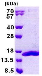SDS-PAGE - Recombinant Human COX5B protein (ab167859)