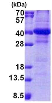 SDS-PAGE - Recombinant Human NSL1 protein (denatured) (ab167875)