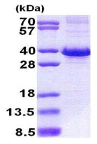SDS-PAGE - Recombinant Human FbxO6 protein (denatured) (ab167876)