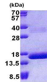 SDS-PAGE - Recombinant Human HBQ1 protein (ab167880)