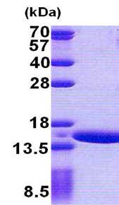 SDS-PAGE - Recombinant Human GTL3B protein (ab167881)