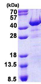 SDS-PAGE - Recombinant Human Hex protein (ab167885)