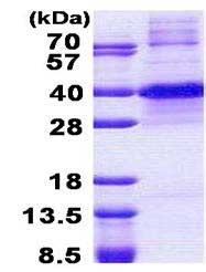 SDS-PAGE - Recombinant Human KLF7 protein (denatured) (ab167889)