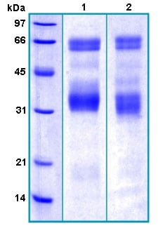 SDS-PAGE - Recombinant Human PSAP protein (ab167924)
