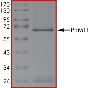 SDS-PAGE - Recombinant human PRMT1 protein (ab167927)