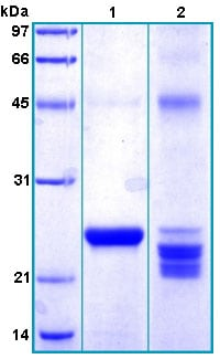 SDS-PAGE - Recombinant Human RAET1G protein (ab167931)