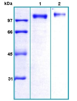 SDS-PAGE - Recombinant Human ENPP1/PC1 protein (ab167943)