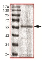 SDS-PAGE - Recombinant Human CDKL1 protein (ab167944)