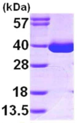 SDS-PAGE - Recombinant human MDH1 protein (ab167996)