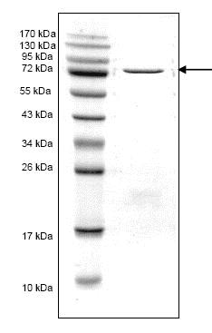 SDS-PAGE - Recombinant Human Penicillin Binding Protein 2X (ab168007)