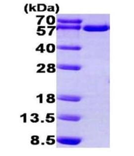 SDS-PAGE - Recombinant human TXNRD1 protein (ab168011)