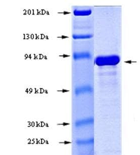 SDS-PAGE - Recombinant human AKT3 protein (ab168019)