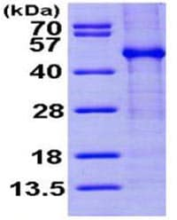 SDS-PAGE - Recombinant human FKBPL protein (ab168030)