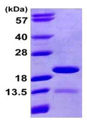 SDS-PAGE - Recombinant human PIN4 protein (ab168039)
