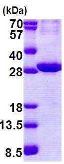 SDS-PAGE - Recombinant Human ATP1B2 protein (denatured) (ab168084)