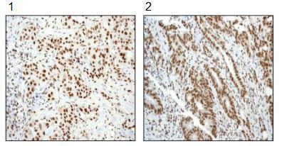 Immunohistochemistry (Formalin/PFA-fixed paraffin-embedded sections) - Anti-SMAD5 (phospho S463 + S465) antibody [MMC-1-104-3] - BSA and Azide free (ab168252)