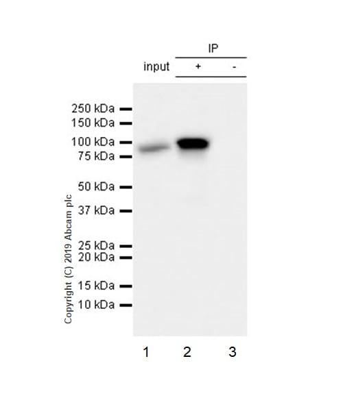 Immunoprecipitation - Anti-STAT1 alpha antibody [EPYR2154] - BSA and Azide free (ab168333)