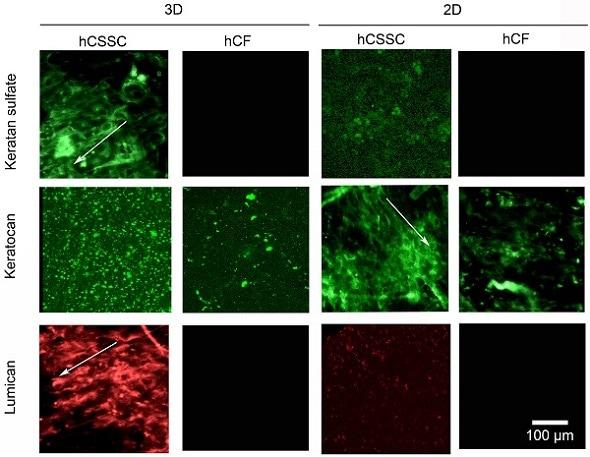 IHC - Wholemount - Anti-Lumican antibody [EPR8898(2)] (ab168348)