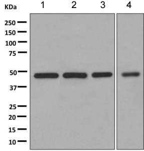 Western blot - Anti-DNAJA2 antibody [EPR11301(B)] (ab168365)