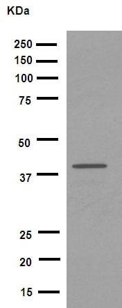 Western blot - Anti-Fbx32 antibody [EPR9148(2)] (ab168372)