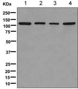 Western blot - Anti-TLR5 antibody [EPR10373] (ab168382)