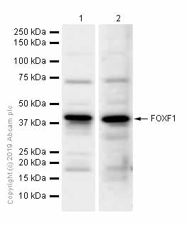Western blot - Anti-FOXF1 antibody [EPR7971] (ab168383)