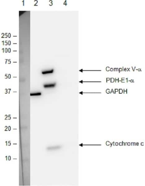 Figure 5: Western blot with ApoTrack™ Cytochrome c Apoptosis WB Antibody Cocktail Western blot with ApoTrack™ Cytochrome c Apoptosis WB Antibody Cocktail