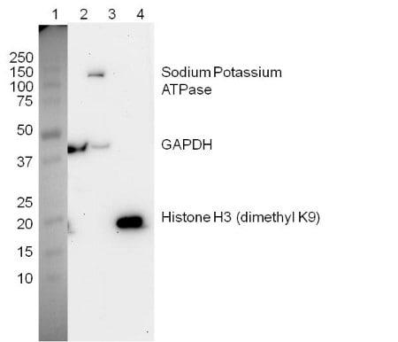 Figure 2:  Western blot with Plasma Membrane Fraction Western Blot Cocktail (ab139413)