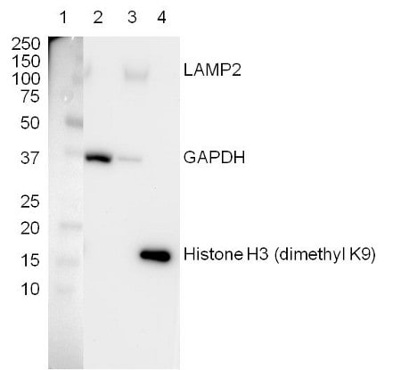 Figure 3.  Western blot with Lysosome Fraction Western Blot Cocktail (ab154472)