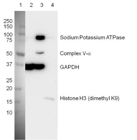 Figure 4:  Western blot with Organelle Detection Western Blot Cocktail (ab133989)