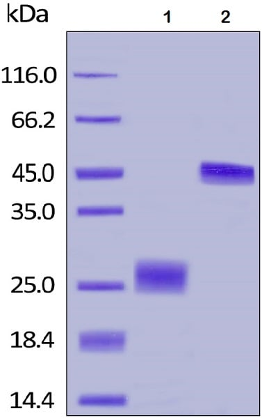 SDS-PAGE - Recombinant human VEGF 165A protein (Biotin) (ab168684)