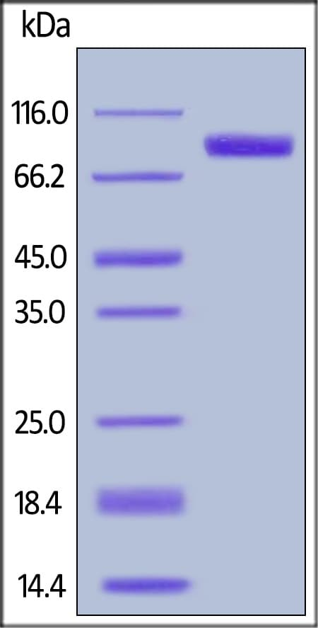 SDS-PAGE - Recombinant Mouse ErbB 2 protein (ab168691)