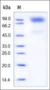 SDS-PAGE - Recombinant human GCSF Receptor protein (ab168697)