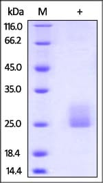 SDS-PAGE - Recombinant human Flt3 ligand/Flt3L protein (ab168707)