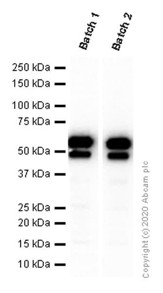 Western blot - Anti-c-Myc antibody [Y69] - BSA and Azide free (ab168727)
