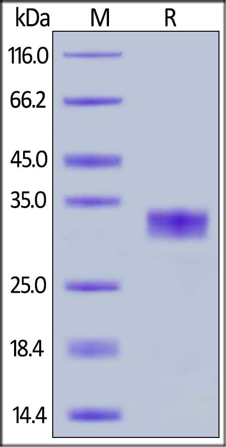 SDS-PAGE - Recombinant human Coxsackie Adenovirus Receptor/hCAR protein (ab168893)